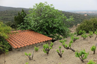 FOR SALE COLLIOURE Vineyard of 2500 m2 with casot ...